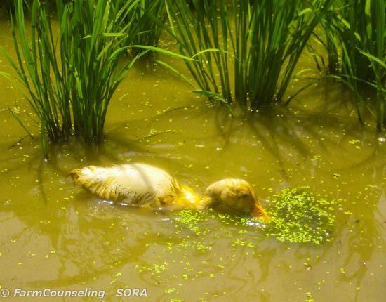 合鴨農法 水草を食べる