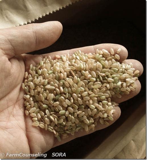 はざかけ米のもみすりをしました。