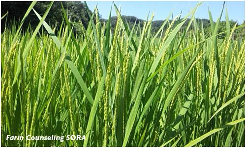 米作り日記 18
