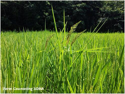 米作り日記 20