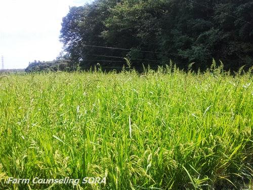 米作り日記 21
