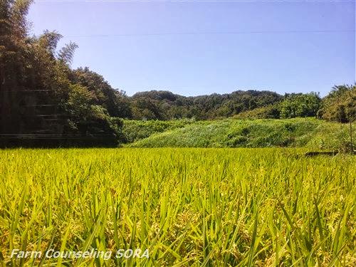 米作り日記 22