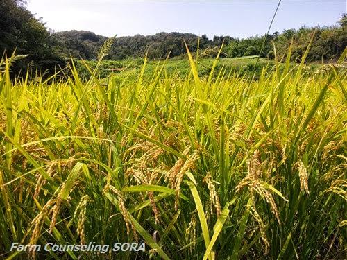米作り日記 23