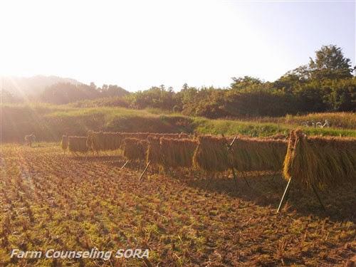 米作り日記 26